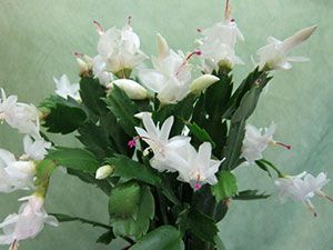 домашние растения Марины Карповой